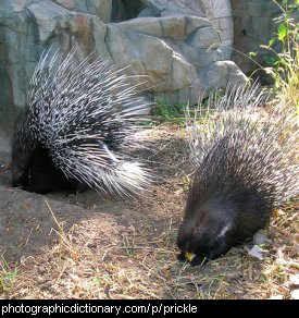Photo of a group of porcupines