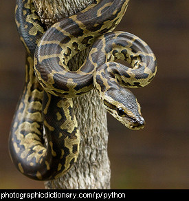 Photo of a python