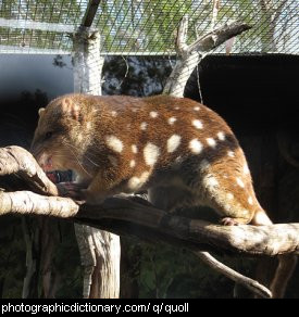 Photo of a spotted quoll