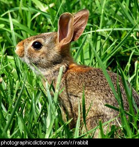 Photo of a rabbit