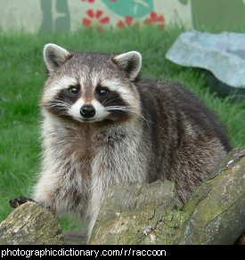Photo of a raccoon