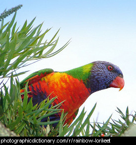 Photo of a rainbow lorikeet.