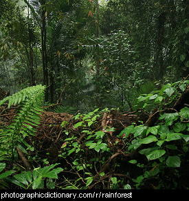 Photo of a rainforest.
