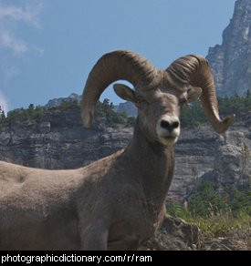 Photo of a ram.