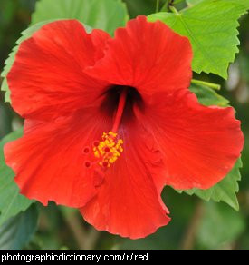 Photo of a red flower