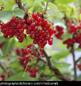 Photo of redcurrants