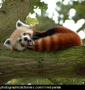 Photo of a red panda
