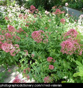 Photo of red valerian