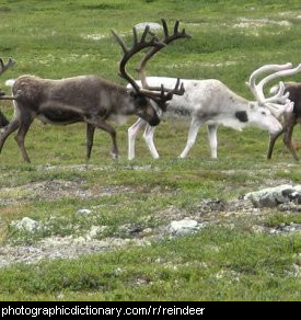 Photo of some reindeer