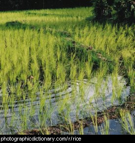 Photo of a rice paddy