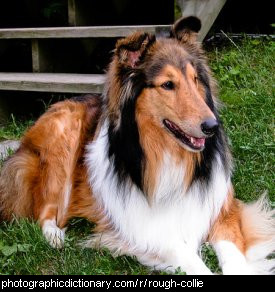 Photo of a rough collie