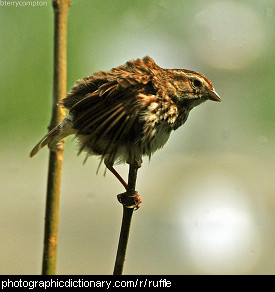 Photo of a bird with ruffled feathers