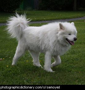 Photo of a samoyed dog