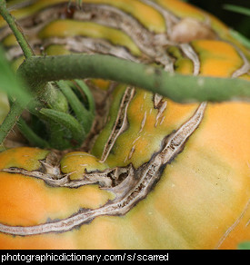 Photo of a scarred tomato