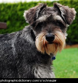 Photo of a schnauzer