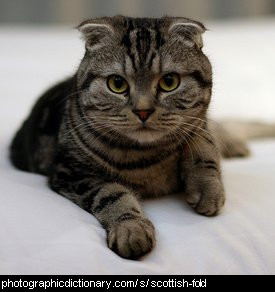 Photo of a Scottish Fold
