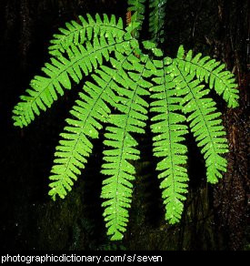 Photo of a fern with seven fronds.