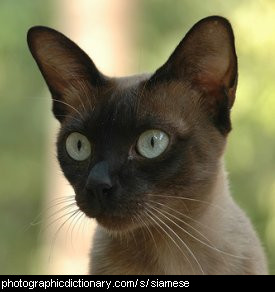 Photo of a siamese cat
