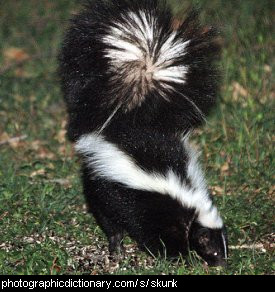 Photo of a skunk
