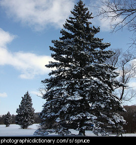Photo of a spruce tree