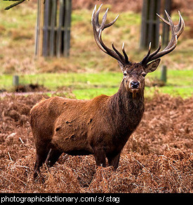 Photo of a stag.