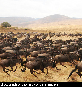 Photo of a stampede of wildebeests