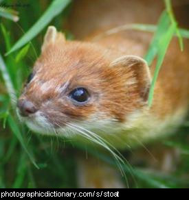 Photo of a stoat, or ermine