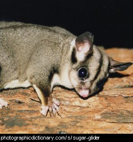 Photo of a sugar glider