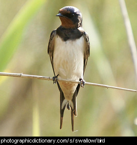 Photo of a barn swallow