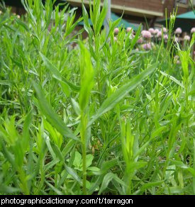 Photo of tarragon