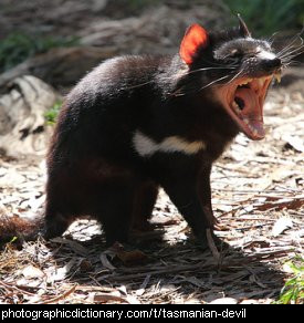 Photo of a Tasmanian devil