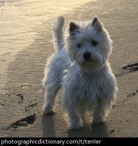 Photo of a terrier
