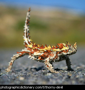 Photo of a thorny devil