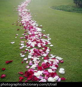 Photo of a trail of rose petals