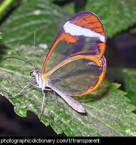 Photo of a butterfly with transparent wings