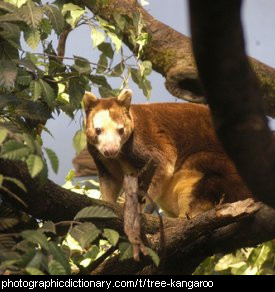 Photo of a tree kangaroo
