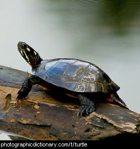 Photo of a turtle on a log.