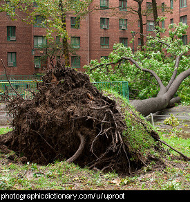 Photo of an uprooted tree
