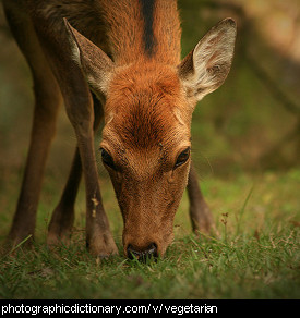 Photo of a deer eating grass
