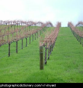 Photo of a vinyard