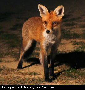 Photo of a vixen.