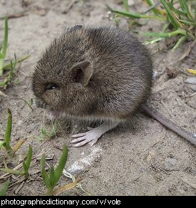 Photo of a vole