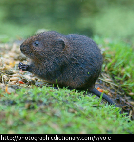 Photo of a water vole