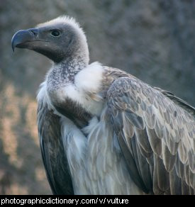 Photo of a vulture