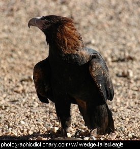 Photo of a wedge tailed eagle