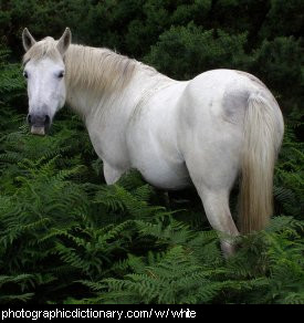 Photo of a white horse