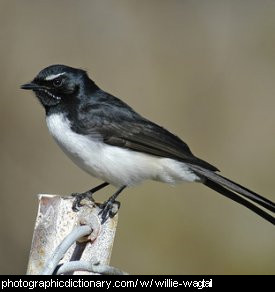 Photo of a willie wagtail