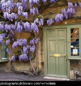 Photo of wisteria