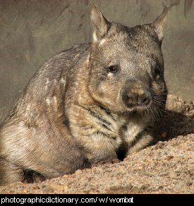 Photo of a wombat