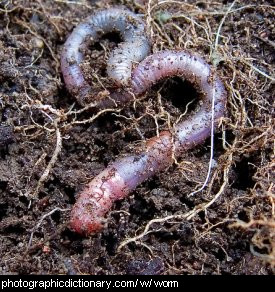 Photo of an earthworm